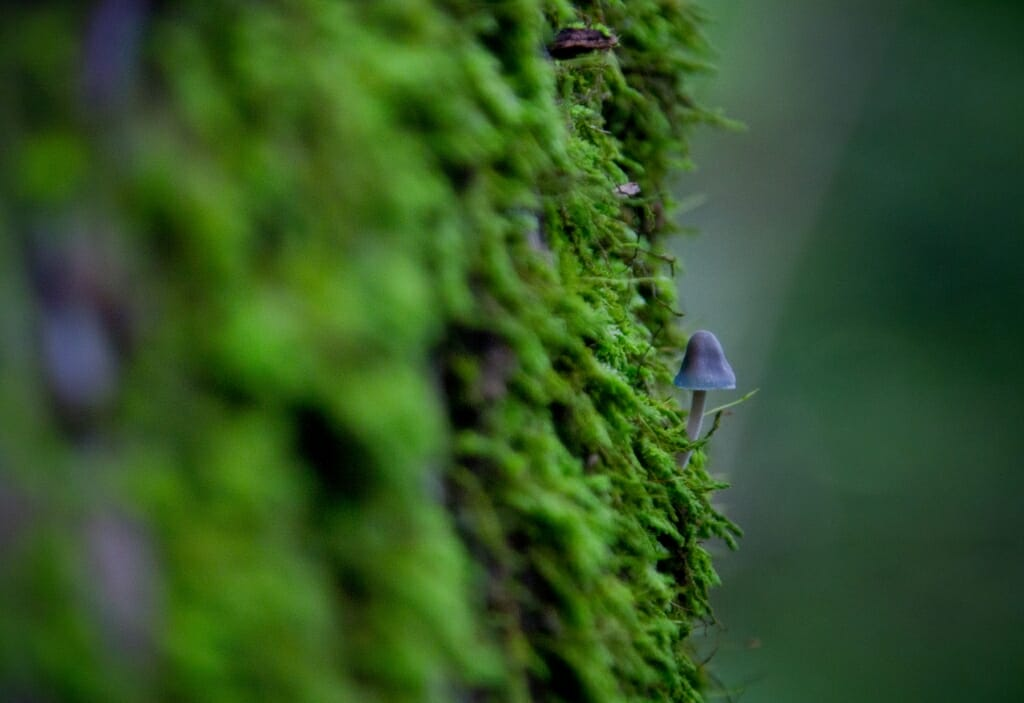 Photo: Mycena mushroom on tree