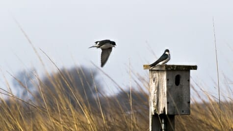 A tree swallow flies to meet another swallow on a bluebird box at Goose Pond Sanctuary.