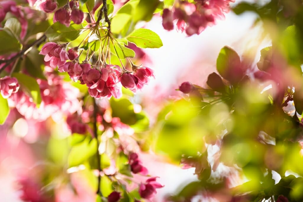 Photo: Closeup of crabapple tree blossoms