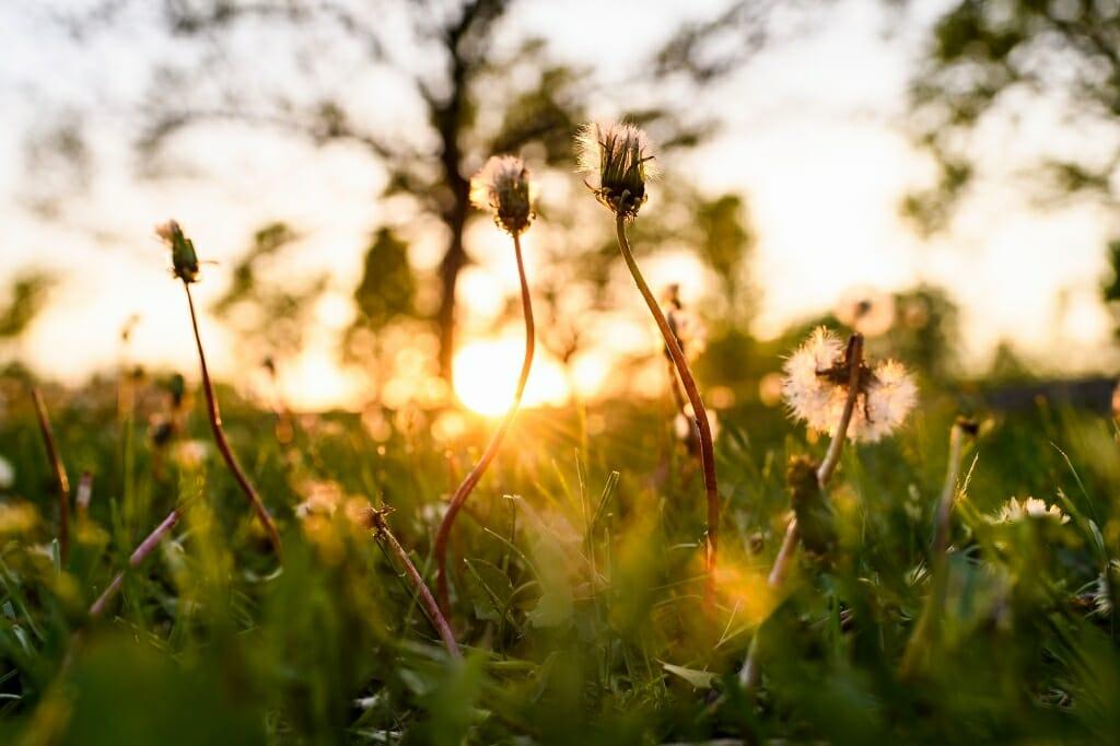 Photo: Dandelions