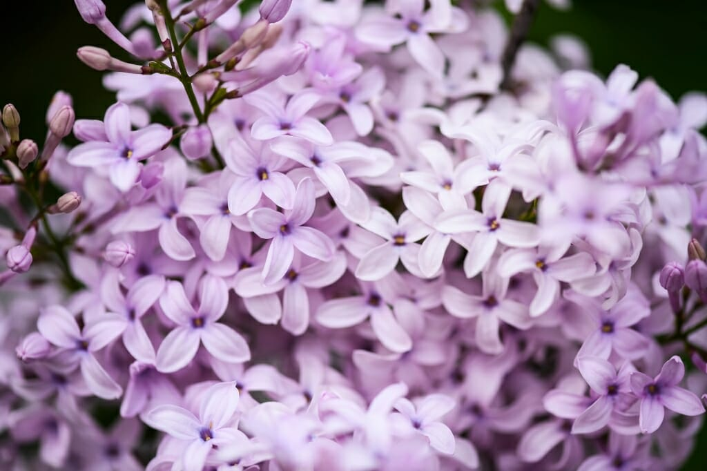 Photo: Closeup of lilac blossoms
