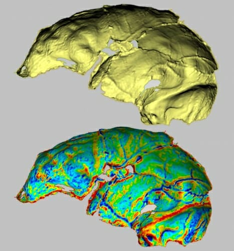 Photo: Homo naledi endocast