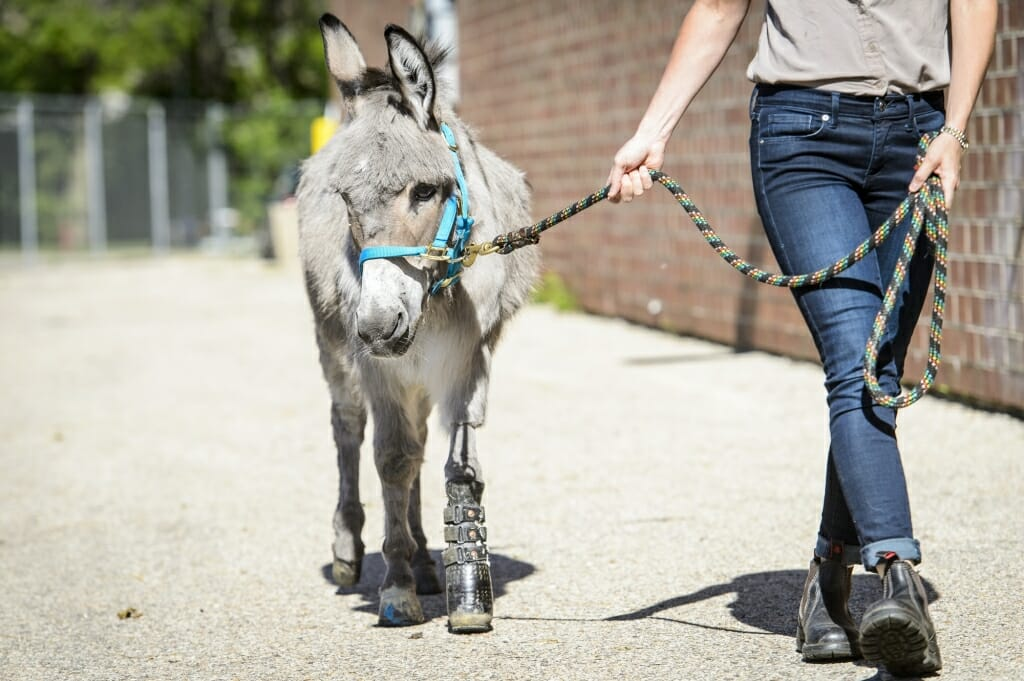 Morello walks Ferguson, a miniature donkey that had a deformed front left hoof. Amputation surgeries are more complicated for large animals, as the limbs bear more weight.