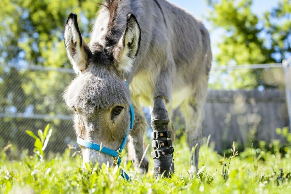 Ferguson, a miniature donkey who had a deformed front left hoof, eats grass in a small pasture as he finalizes his recovery from amputation surgery.