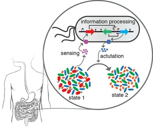 Graphic: Diagram of human gut