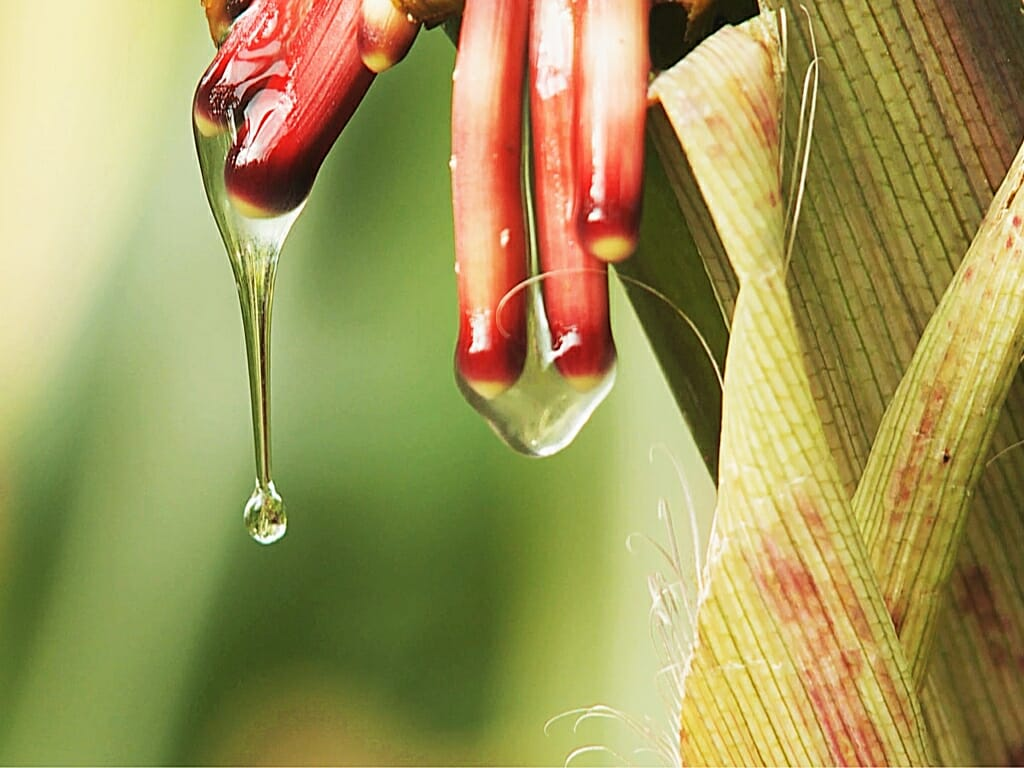Photo: Dripping gel on corn plant