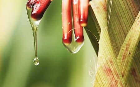 Photo: Dripping gel on corn plant