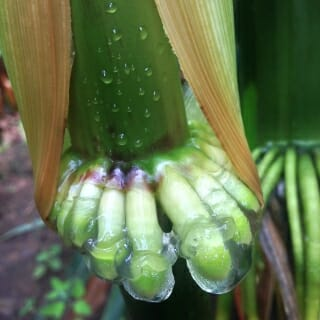 The corn can acquire 30 to 80 percent of its nitrogen in this way, but the effectiveness depends on environmental factors like humidity and rain.