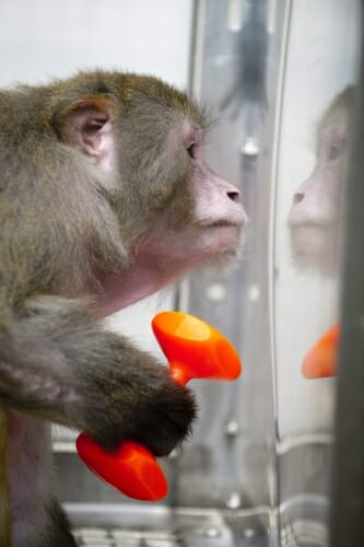 Photo: Monkey looking at its reflection in glass
