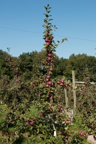 Photo of apple trees in an orchard.