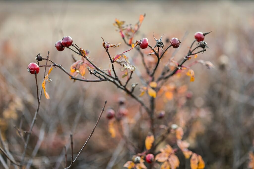 Photo of rose hips on a rose plant.