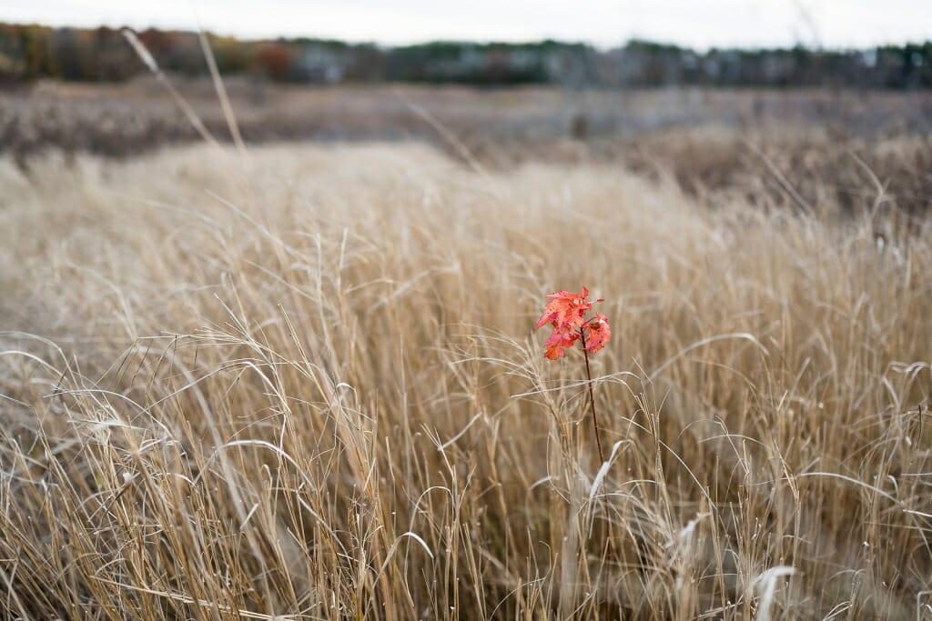 Photo of a scarlet Amur maple sapling amid dull brown prairie grass.