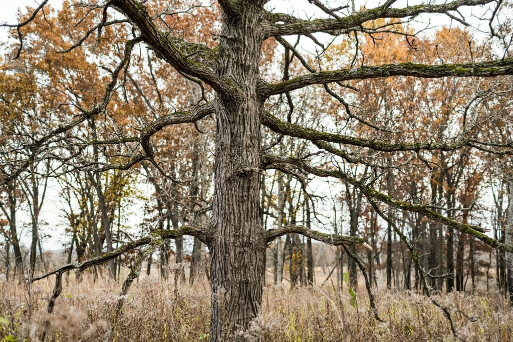 Photo of oak trees lining the edge of the prairie.
