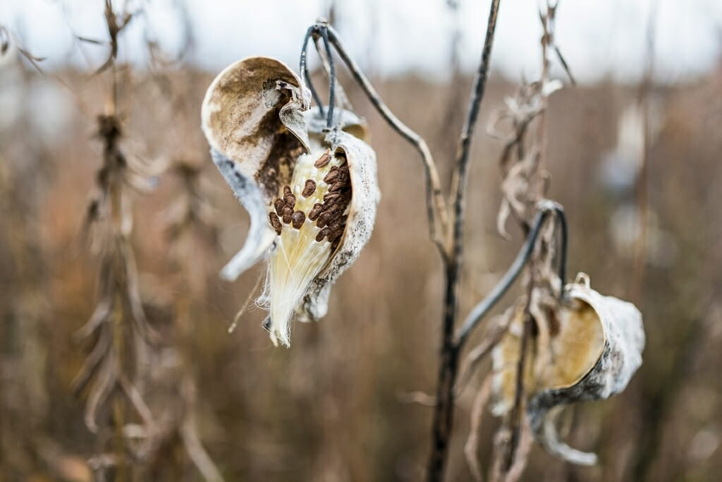 Photo of milkweed pods opening.