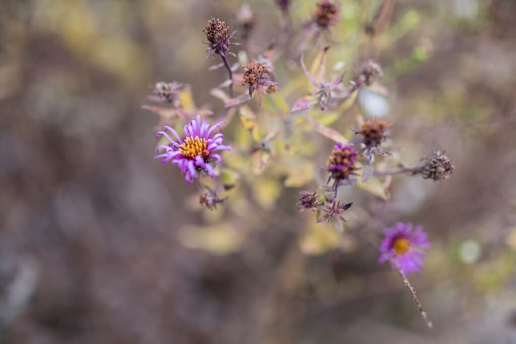 Photo of purple aster blossoms.