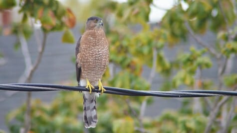 Photo: A Cooper's hawk perched on a wire