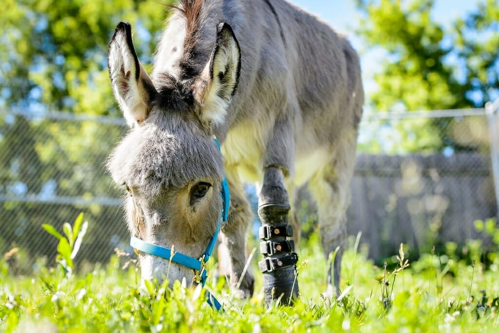 Photo: Donkey with prosthetic leg, grazing