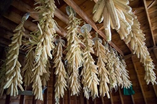 Photo: Braided white corn hangs from a ceiling.