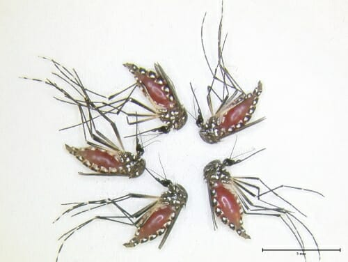 Photo of five dead mosquitoes with red distended bellies.