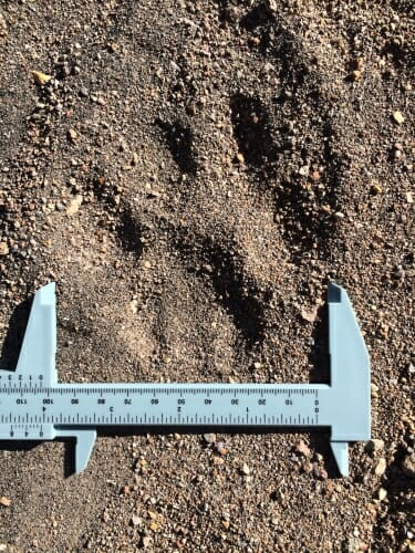 Photo: A paw print in the gravelly soil.