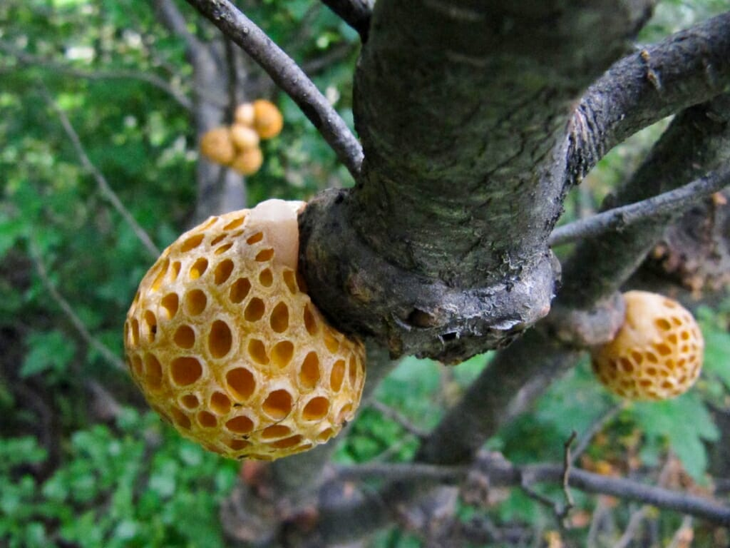 Photo: Galls on tree