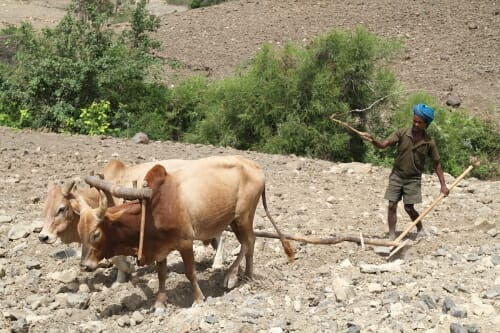 Photo: Farmer plowing with oxen