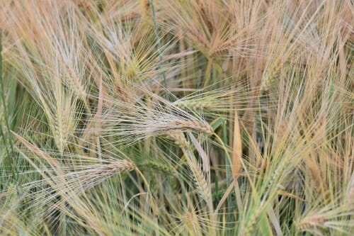 Photo: Closeup of winter wheat plants