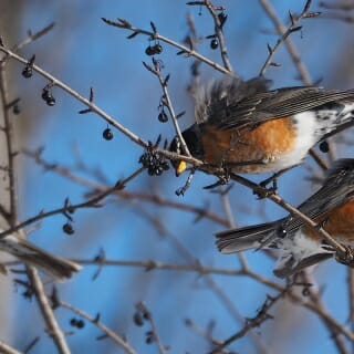 Journey North citizen scientists track waves of migrating robins during spring. These foragers were reported in Ottawa, Ontario.