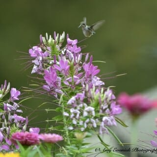 Before and during fall migration, hummingbirds go on a feeding frenzy to maintain their body weight. Citizen scientists along migration routes report bird sightings and food sources. This hummingbird in Newburgh, Indiana, is feeding on cleome.
