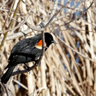 By April, red-winged blackbirds have returned to the Arboretum's marshes, staking out territory with their conspicuous calls. The Arboretum is a popular destination for birders, many of whom regularly report their sightings to citizen science projects.