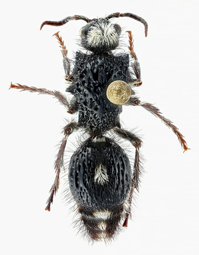 Photo: a pinned specimen of a wasp from a family of wasps commonly known as velvet ants