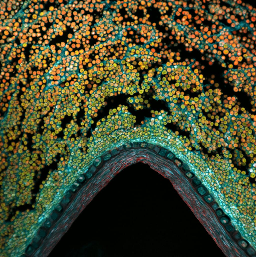 Photo: microscope image of the coleoptile — the protective sheath covering what would become an emerging shoot and first leaves — in a kernel of corn