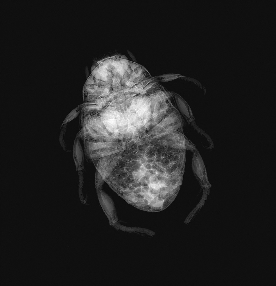 Photo: X-ray of a common invasive insect, the Japanese beetle