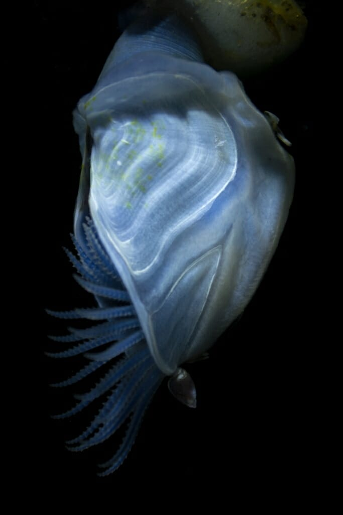 Photo: a blue buoy barnacle, a crustacean that makes its own floatation device for sailing ocean currents