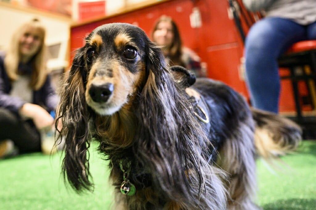 Photo: Portrait of Frankie the dachshund.