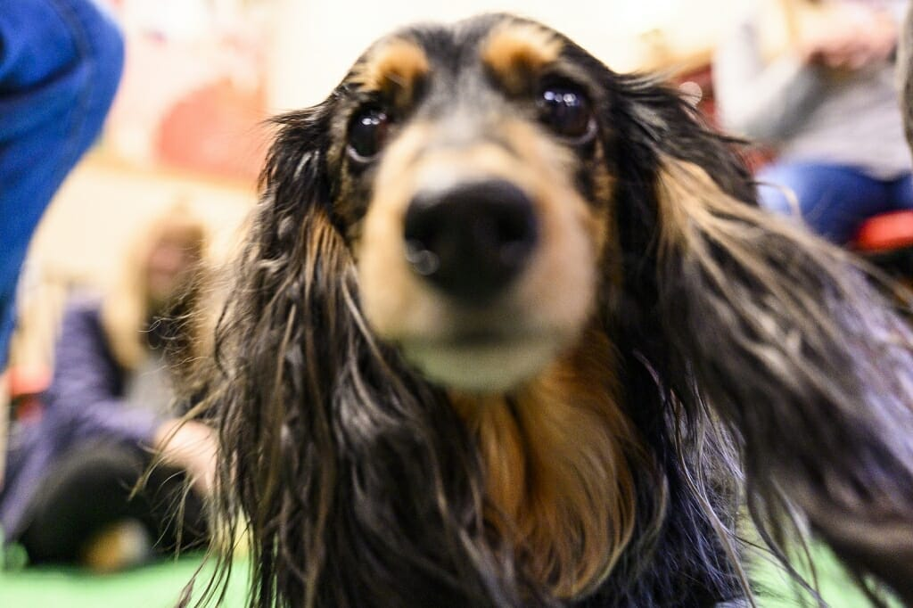 Photo: A close-up of a dachshund's face.