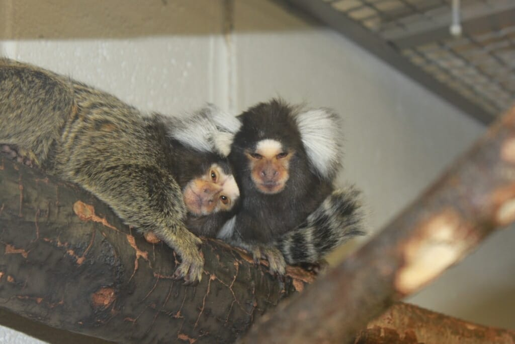 Photo: 2 marmosets on a branch in a lab
