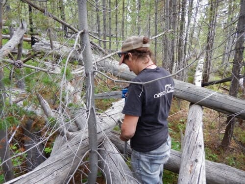 Photo: Graduate student and study co-author Kristin Braziunas samples dead wood in an area that burned in Yellowstone's historic 1988 fires but did not re-burn in 2016.