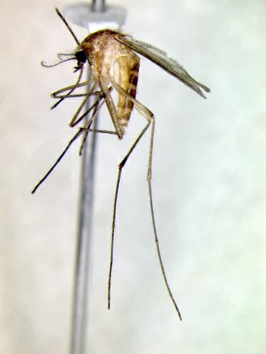 Photo: A closeup of a mosquito.