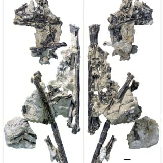 ": Lori was discovered in the ""overburden"" — the overlying rock and debris that atop another dig and once found, she was carefully prepared and scanned to characterize her fossilized bones."
