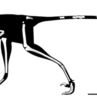 A skeletal reconstruction of Lori based on the fossil bones scientists excavated in Wyoming. Related to velociraptors, Lori would have been about the size of a chicken.