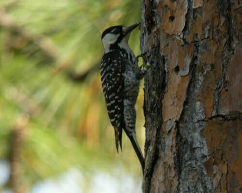 Photo: woodpecker perched on tree trunk