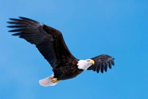 Photo: Bald eagle in flight