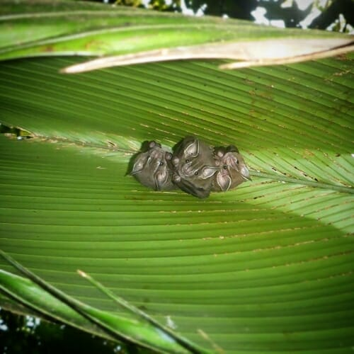 Photo: Closeup of tiny bats snuggling on a large leaf