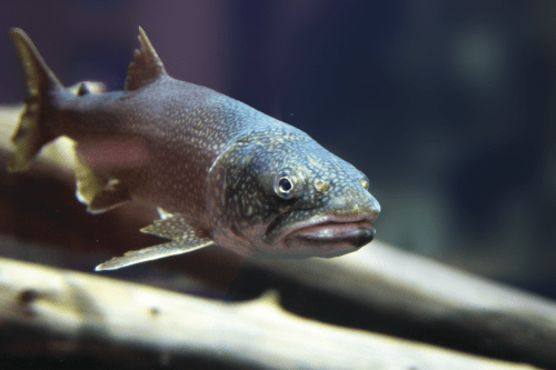 Photo: A lake trout swimming.