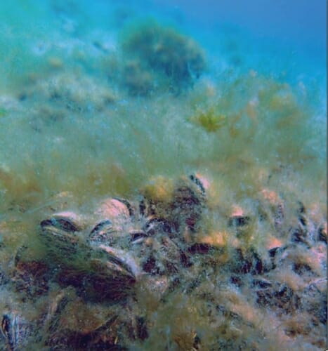 Photo: Some mussels on the lake bottom.