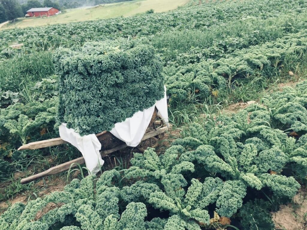 Photo: A field of Kale