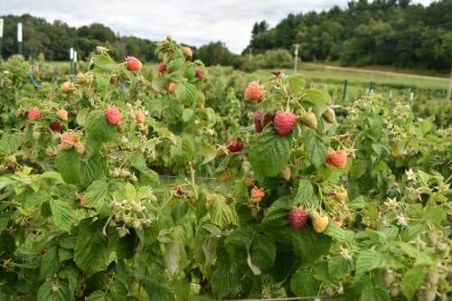 Photo: A field of raspberry plants.