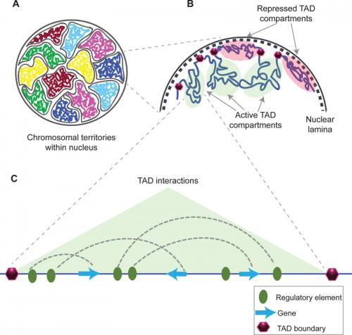 Photo: Diagram of chromosome interaction