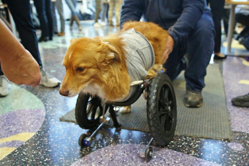 Photo: Dog in a wheelchair